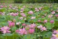 Lotus blossoms on the protected forest lake Royalty Free Stock Image