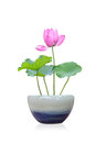 Lotus bonsai on a white background Stock Photos