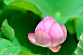 Lotus bud. Royalty Free Stock Photo