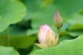 Lotus buds Royalty Free Stock Photo