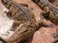Lotus crocodile crocodiles farm pet pets breeding aliment animal nature aligator Stock Image