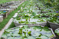 Lotus cultivation area for agriculture of industry Stock Image