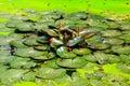 Lotus damm i parkera Arkivbild
