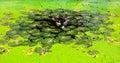Lotus damm i parkera Fotografering för Bildbyråer