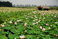 Lotus field Stock Images