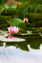 Lotus flower Stock Image