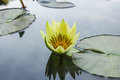 Lotus flower this beautiful closed up Royalty Free Stock Photos
