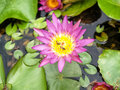 Lotus flower and bee thai big show beauty detail in Royalty Free Stock Photos
