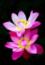 Lotus flower on a black background Stock Images