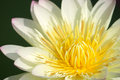 Lotus flower blooming close up of in garden Royalty Free Stock Photography