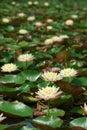Lotus flower blooming in garden Royalty Free Stock Photos