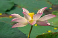 Lotus flower blooming pink in garden Stock Images
