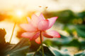 Lotus flower blossom Royalty Free Stock Photo