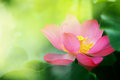 Lotus flower blossom in the sunrise Stock Images