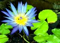 Lotus flower blue water lily with green leaf tropical plant in pond Stock Images