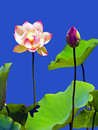 Lotus flower and bud against blue background Stock Photography