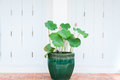 Lotus flower bud and green leaves growing in a flower pot Royalty Free Stock Photo