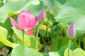 Lotus flower and bud the together side by side Royalty Free Stock Photography