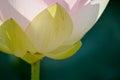 Lotus flower1 Royalty Free Stock Photo