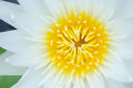 Lotus flower close up white Royalty Free Stock Photo