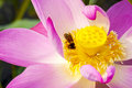 Lotus flower closeup colorful and bee Stock Photography