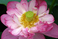 Lotus flower closeup of a pink Royalty Free Stock Photo