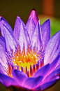 Lotus flower extreme close up HDR Royalty Free Stock Images