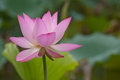 Lotus flower the in full bloom Stock Image