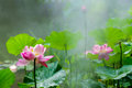 Lotus flower in full bloom in the drizzle pond Stock Photography