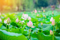 Lotus Flower Garden,Lotus Pond...