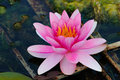 Lotus flower indian water lily in a pond Stock Photos