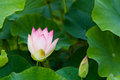 Lotus flower a korean in gyeongju korea Stock Photos
