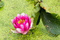 Lotus flower a korean in gyeongju korea Stock Image