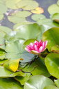 Lotus flower natural photo of on the water Stock Photography