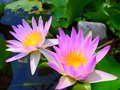 Lotus flower nature colors landscape Royalty Free Stock Image