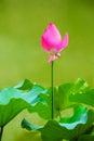 Lotus flower photo of a taken in beijing Stock Photos