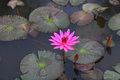 Lotus flower in pink color growing in the pond Stock Image
