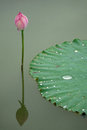 Lotus flower pink flowers bud with green leaves Stock Photography