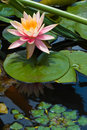 Lotus flower in pond (1) Stock Photos