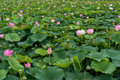 Lotus flower pond in buyeo south korea taken during festival Royalty Free Stock Photography