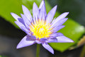 Lotus flower, purple lotus