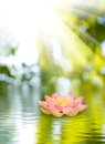 Lotus flower on the water Royalty Free Stock Photo