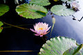 Lotus flower on water with water lilies