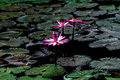 Lotus flower or waterlily among green leaves in deep water Royalty Free Stock Photo