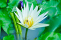 Lotus flower white in the river Stock Photo