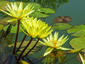 Lotus flower the yellow of on water Royalty Free Stock Photos