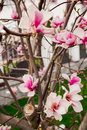 Lotus flowered magnolia large flowered magnolia many beautiful pink flowers blooming in the countryside southern magnolia loblolly Royalty Free Stock Photos