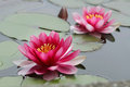 Lotus flowers Stock Photos
