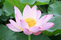 Lotus flowers blooming in summer very beautiful Royalty Free Stock Photo