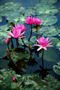 Lotus flowers and lily pads Royalty Free Stock Photo